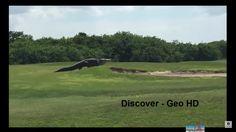 The biggest giant Gator alligator -Crocodile- Walks Across Golf Course i...