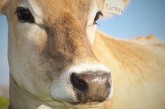 Nettle, the sweet, sweet Jersey cow.