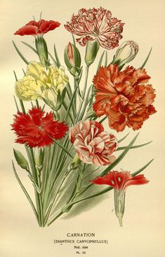 Low Cost Flowers Shipping And Delivery - An Anniversary Reward Without A Significant Selling Price Tag V. 1 - Favorite Flowers Of Garden And Greenhouse - Biodiversity Heritage Library Vintage Botanical Prints, Botanical Drawings, Botanical Illustration, Vintage Art, Botanical Flowers, Botanical Art, Botanical Gardens, Flower Prints, Flower Art