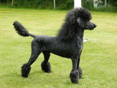 """Check out our website for even more relevant information on """"poodle puppies"""". It is actually an excellent place for more information. Poodle Grooming, Dog Grooming, Dog Haircuts, Dog Hairstyles, Poodle Cuts, French Dogs, Toy Puppies, Poodle Puppies, Dog Love"""