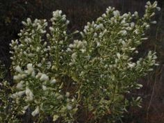 Native Plants: Coyote brush is hardy, drought tolerant perennial that flowers in winter