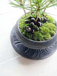Pine cone bonsai - All For Garden Foliage Plants, Air Plants, Indoor Plants, Bonsai Garden, Garden Plants, House Plants, Plant Projects, Paludarium, Deco Floral