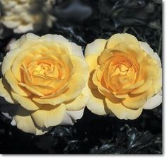 """An English style shrub rose for those who want a smaller, more compact rose. Fully double 3 1/2"""" blooms (petals 40+) of deep primrose yellow with strong fragrance on a short, continual blooming somewhat spreading plant with very shiny deep green, holly-like foliage that provides a striking backdrop for the flowers. Perfect for the cottage garden or anywhere else."""