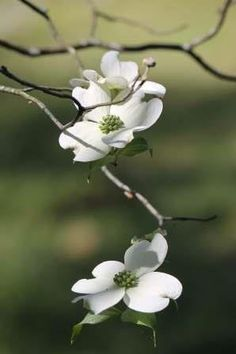 Virginia American Dogwood In 1918 The Was Adopted As State Treesdogwood Flowersflowering