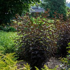 Van Zyverden Physocarpus Panther 4 in. Potted Rocketliners (Set of 3 Plants) Ninebark Shrub, Full Sun Perennials, Pot Lights, Low Maintenance Landscaping, Water Wise, Japanese Maple, Modern Landscaping, How To Level Ground, Autumn Summer