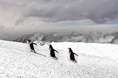 Papua penguin couple walking on hill on the snow by Angelo D'Amico Photograph on Couples Walking, Fun Illustration, Walk On, Penguins, Around The Worlds, Snow, Design Products, Photography, Design Inspiration