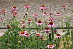 30 Best Flowers for Drying - Gardening Channel Dry Garden, Garden Soil, Gardening, Large Flowers, Dried Flowers, Amaranth Flower, Globe Amaranth, American Meadows, Sea Holly