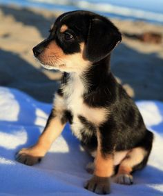 We will have at least one of these in our house. I love beagles, they are adorable.