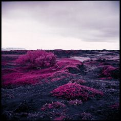 Inspired by Richard Mosse's infrared work, NYC-based photographer Daniel Zvereff made sure to get his hands on some of the last remaining stock of expired Kodak Aerochrome film in 120 format. The dazzling fuchsia, crimson, and lavender tones are produced when the film reacts to the chlorophyll in plants.