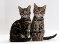 Domestic Cat, Two 8-Week Tabby Kittens, Male and Female ...