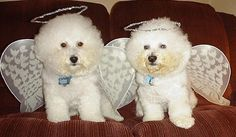 Bichon Angels - Sammy and Hooper the bichon angels who are now looking down on us from above