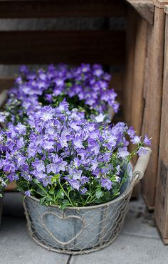 Potted purple flowers