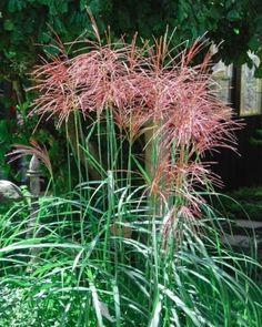 achnatherum calamagrostis gramineas pinterest gr ser. Black Bedroom Furniture Sets. Home Design Ideas