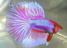 3 Month Old HM Betta by  Karen MC Auley IBC Member past IBC VP