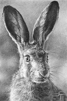 "British Hare. Copied from an image taken by ""Our Wild Life""… / This sprightly character was drawn on medium surface cartridge paper using a mixture of 2b – 5b pencils. He took just over 25 hours from start to finish and is a particular favourite of mine. • Buy this artwork on stationery und wall prints."