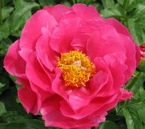 (N) Peony.  Possibly for out near light post.