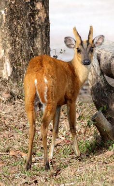 Southern Red Muntjac south asia sometimes feeds on carrion