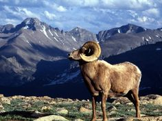 Image detail for -Big Horn Ram, Rocky Mountain National Park, Colorado US - HD Travel ...
