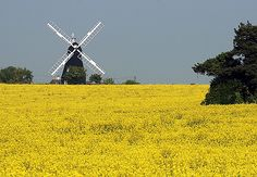 rape seed fields and a windmill in Kent