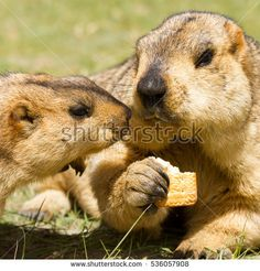 Couple of funny marmots (groundhogs) with bisquit on the green grass in the vicinity of Pangong Tso Lake (Himalayas, Ladakh, India)