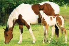 The paint horses are best known for their unique coat patterns. Let's find out 5 paint horse facts that will surely amaze you! Types Of Horses, Horses And Dogs, Wild Horses, Most Beautiful Horses, Pretty Horses, Animals Beautiful, American Paint Horse, Quarter Horses, Paint Horses For Sale