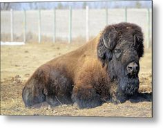 The Bison Metal Print by Bonfire #Photography