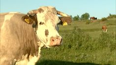 In cautarea gustului pierdut I Love You, My Love, Romania, Cow, Spaces, Animals, Te Amo, Animales, Je T'aime