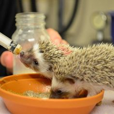 "Fun Facts about Hedgehogs  Hedgehogs are considered ""exotic pets""."