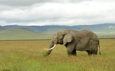 An elephant treks across an open field in the Serengeti. #africa #travel #safari #photoessay