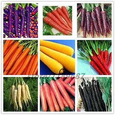 300pcs carrot seeds, 9 colours to choose, bonsai organic vegetable fruit seeds ,sweet and healthy,plant for home garden