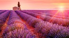 Lavender field - sunset, rays, pink, field, house, cottage, lavender, glow, beautiful, pretty, sunrise, summer