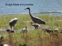 Brolgas at Double Lagoon Queensland