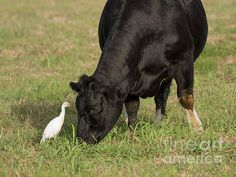 Eye to Eye by David Cutts #cow #grazing #widlife