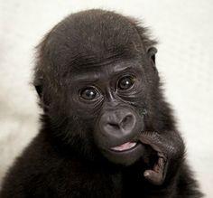 sweet gorilla baby