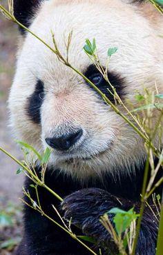 Panda image via WallpapersHD Animals Of The World, Animals And Pets, Cute Animals, Zoo Animals, Wild Animals, Panda Bebe, Panda's Dream, Panda Images, Wild Lion