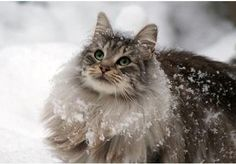 Adorable Norwegian Forest Cat in the snow.
