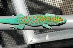 Blue blood giant day gecko