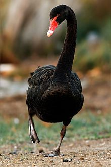 black swan (Cygnus atratus) [not aposematic] The Black Swan, Black Swan Bird, Swan Love, Beautiful Swan, Beautiful Birds, Australian Birds, Animal Totems, All Gods Creatures, Exotic Birds