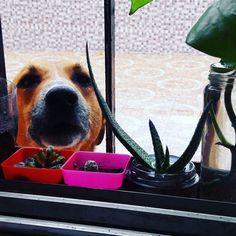Mientras trabajo floreció Pancho en mi ventana #dog #dogsofinstagram