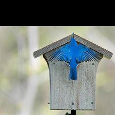 Wild Birds Unlimited Bluebird nest box (with Bluebird).