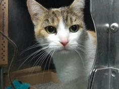 *** TO BE DESTROYED 07/19/17 *** BEEN HERE SINCE JUNE!! A volunteer writes: Tyler is a shy, demure lady. Once you introduce yourself, the way to her heart is through her stomach. She adores nibbling on cat treats. Tyler also has an endearing habit of drinking water with her paw. She scoops it up out of her bowl and sips it until she is full. This method is lots of fun and serves its purpose of keeping her hydrated. She has lived with adults and a child and is recommended to go to a ...