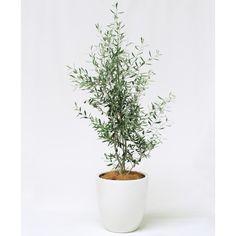 ★トロン・ドゥ・クサカンムリ [草冠の木] オリーブ 祝事にふさわしい意味が込められた、観葉植物のギフトです。幸福の象徴であるリースに用いられる樹木をセレクトしました。S:15,000円(税別) #kusakanmuri
