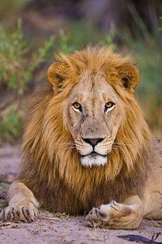 09May-lion1.jpg 292×438 pixels