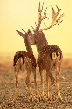 Deers | via plasmatics-life: Untitled ~ By عبدالقادر القحطاني