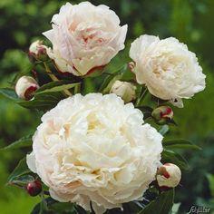 Pfingstrose Shirley Temple -Paeonia lactiflora- Außergewöhnlich, stark duftend und winterhart - Blüten der Rose erst zart-rosa später perl-weiß - Pflanze vom Testsieger Garten Schlüter