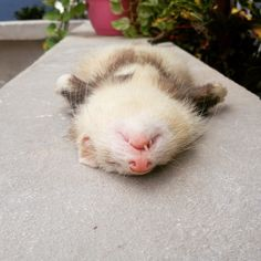 Will sleep almost anywhere ferret