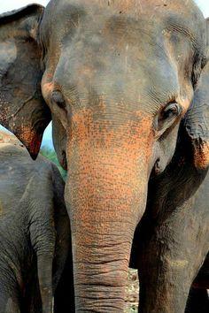Pinnawala elephant orphanage, Sri Lanka #VisitSriLanka