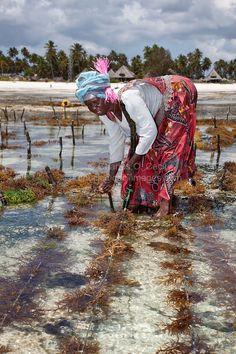 woman farmer Jambiani, Zanzibar, Tanzania harvesting seaweed to export to Asian markets | Cecil Images