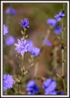 Chicory wildflower............