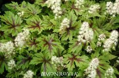 Monrovia's Sugar & Spice Foam Flower The shiny, lacquered leaves are deeply cut giving a lacy appearance and have bold dark marking in the center. Spikes of foamy pale pink and white flowers hover above the foliage. A necessity in the woodland or any shady garden. Herbaceous.